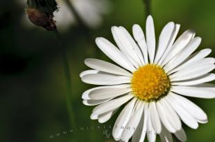 photo of Pretty Daisy Flower Picture Gourdon Village France