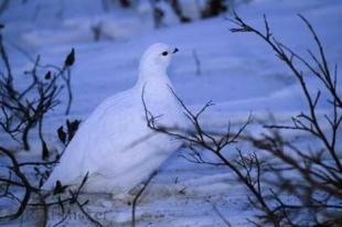 photo of Ptarmigan