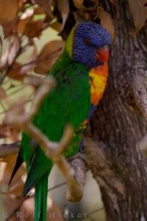 photo of Rainbow Lorikeet Picture