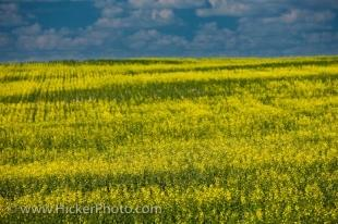 photo of Rapeseed Field Saskatchewan Agriculture Canada