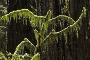 photo of Redwoods Forest Life California