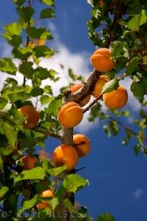 photo of Ripe Apricots Orchard Trees Central Otago