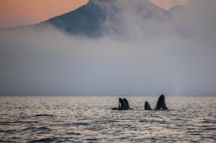 photo of Orca Whale family spy hopping robson bight