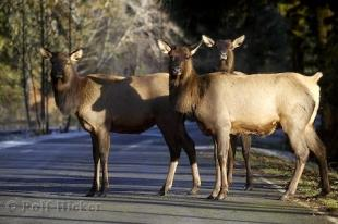 photo of Roosevelt Elk Picture