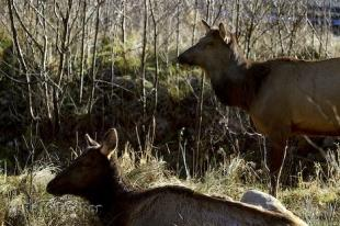 photo of Roosevelt Elk Pictures
