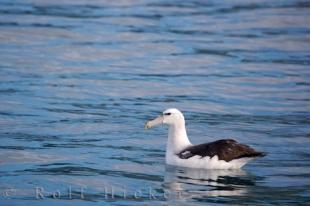photo of Royal Albatross Kaikoura Coast New Zealand