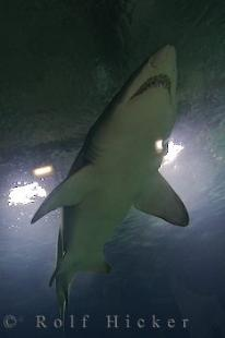 photo of Sand Tiger Shark