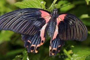 photo of Scarlet Mormon Butterfly