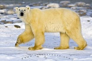 photo of Sea Bear Ursus Maritimus Hudson Bay Churchill Manitoba
