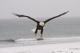 photo of sea eagle
