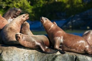photo of Steller Sea Lion Rookery British Columbia