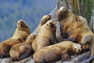 photo of Steller Sea Lions Resting