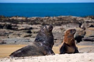 photo of Sea Lions New Zealand Marine Mammals