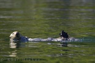 photo of Sea Otter Nootka Sound