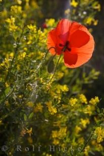 photo of Single Poppy Flower Alpes De Haute Village