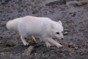 photo of Snow White Arctic Fox Hudson Bay Tundra Churchill