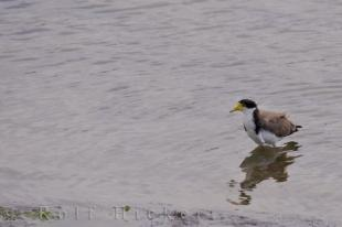 photo of Spur Winged Plover
