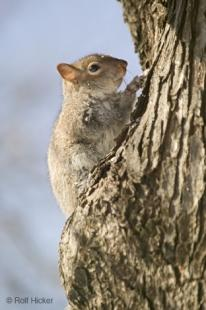 photo of Squirrel Picture