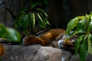 photo of Sumatran Tiger Photo