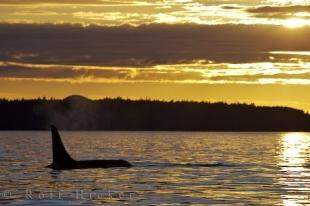 photo of Sunset Killer Whale Heaven British Columbia
