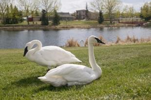 photo of White Swans Birds