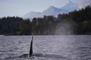 photo of Tall Male Orca Northern Vancouver Island