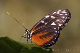 photo of Tiger Longwing Butterfly