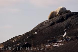 photo of Tired Polar Bear Churchill Rocks Manitoba