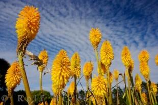photo of Torch Lily kniphofia uvaria