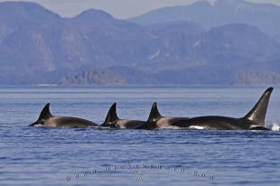 photo of Transient Killer Whale Habitat