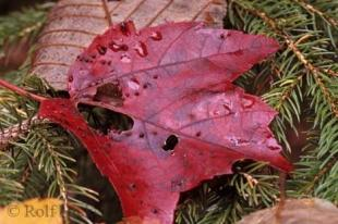 photo of Red Fall Tree Leaves