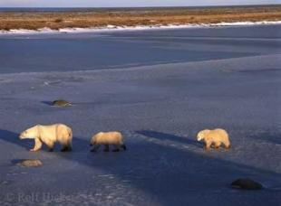 photo of Tundra Animals