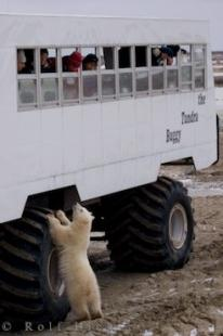 photo of Tundra Buggy Tours Churchill Manitoba