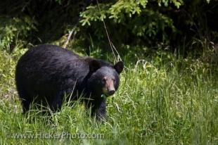 photo of Black Bear Ursus Americanus Red Lake Ontario Canada