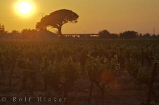 photo of Vineyard Sunset Umbrella Tree Backdrop Provence France