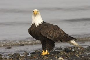 photo of Walking Eagle