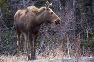photo of Wandering Moose Private Property Newfoundland