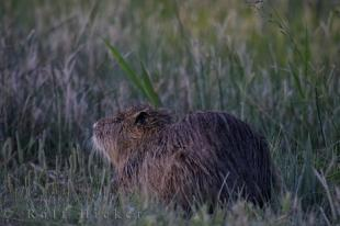 photo of Wetlands Coypu Picture Camargue Provence