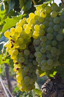 photo of White Grape Clusters Vineyard Fruit