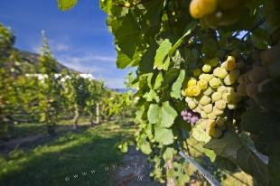 photo of White Grapes Okanagan Lake Winery Bonitas