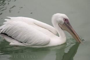 photo of White Pelican Spain