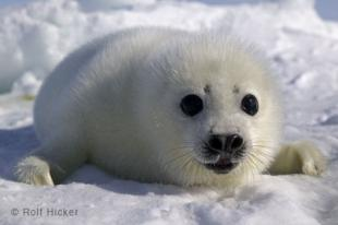 photo of Whitecoat Seal Picture