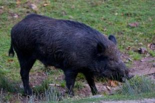 photo of Wild Boar Animal Parc Omega Montebello Quebec