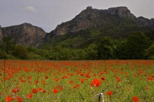 photo of Wild Poppies