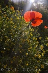 photo of Wildflowers Poppies Village Moustiers Ste Marie Provence France