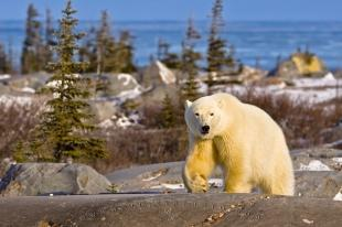 photo of Wildlife Photo Polar Bear Hudson Bay Landscape