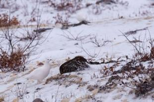 photo of Willow Ptarmigan Bird Picture