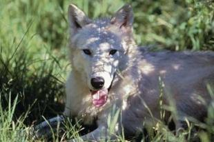 photo of Arctic Wolf Pictures
