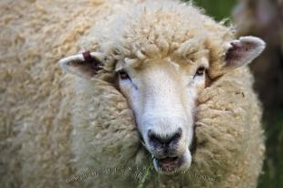 photo of Woolly Sheep Titirangi Bay Marlborough South Island New Zealand