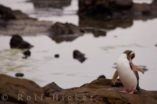 photo of Yellow Eyed Penguin Behavior Otago New Zealand
